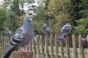 frui_course_02_pigeons