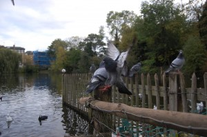 frui_course_03_pigeons
